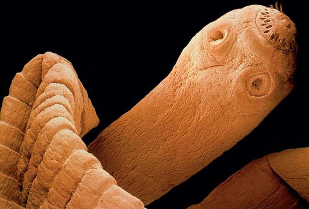 Quello che degli organismi elencati non è un parassita cellulare