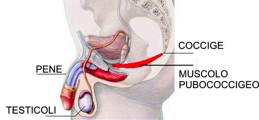 come allenare il muscolo del pene quanti anni sta crescendo il pene