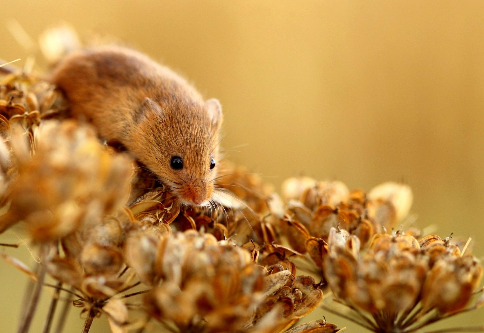 orecchie di topo e pene erezione non ci sono eruzioni