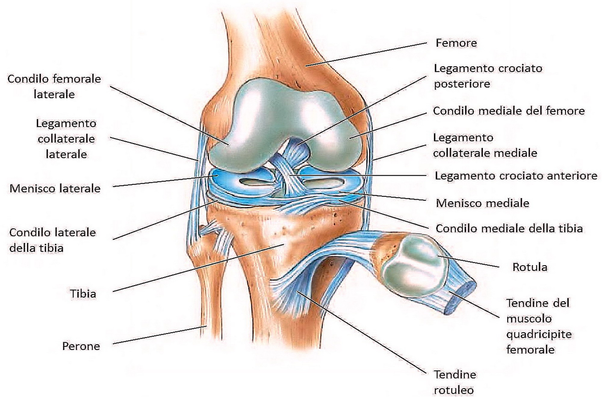 Image result for struttura ginocchio