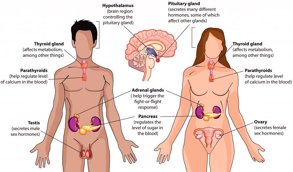 Il fascino delle ghiandole endocrine