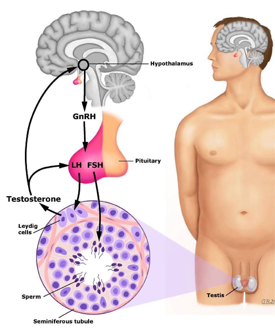 perché nessuna eiaculazione dopo la rimozione della prostata