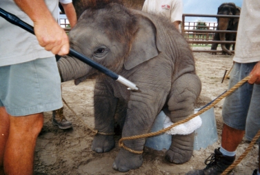 Elephants being trained at the Ringling Brothers and Barnum & Bailey Center for Elephant Conservation. Photos taken by Samuel Haddock, 1997-2002, provided courtesy of PETA.