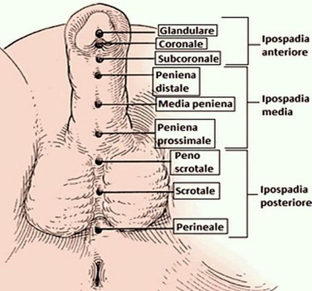 struttura anatomica del pene