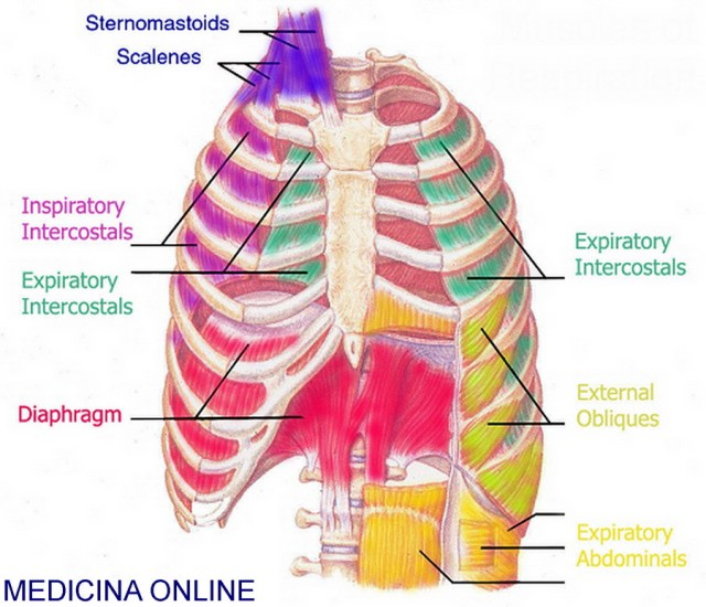 muscles-of-respiration