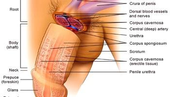 esercizio per allungare il pene erezione come dovrebbe essere