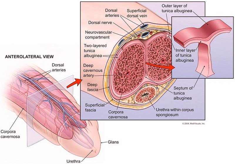 eccitazione maschile inturgidimento prostata