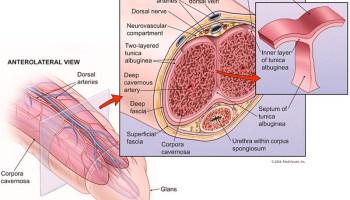 come allenare il muscolo del pene diminuisce lerezione durante il rapporto