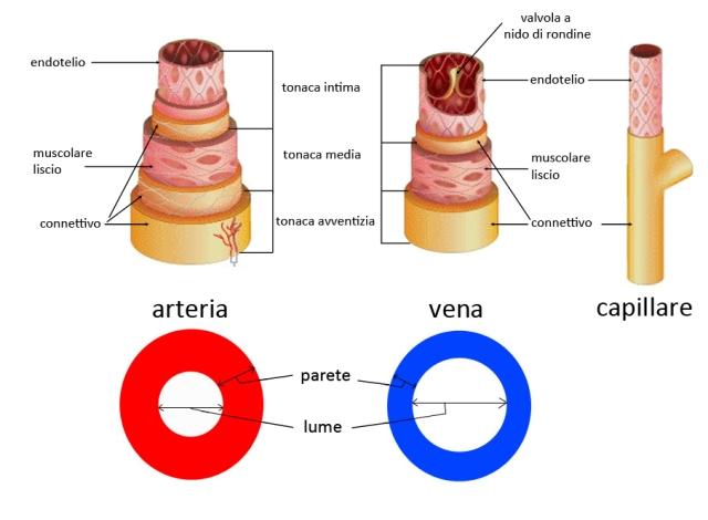 velocita del sangue nelle vene