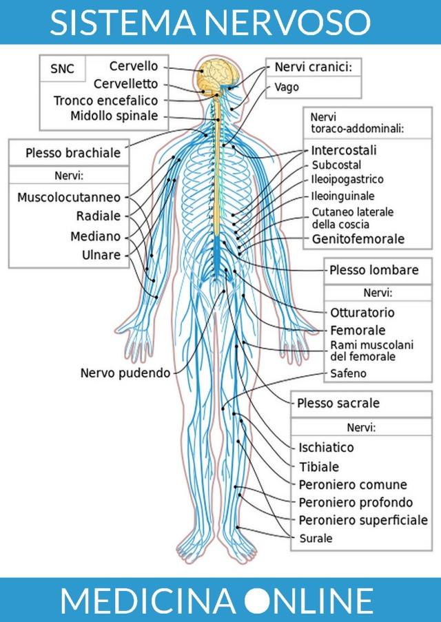 MEDICINA ONLINE SISTEMA NERVOSO CENTRALE GIALLO SISTEMA NERVOSO PERIFERICO AZZURRO ANATOMIA CERVELLO ENCEFALO MIDOLLO SPINALE NERVI TRONCO CEREBRALE