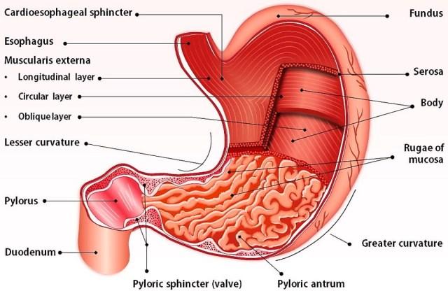 MEDICINA ONLINE stomaco anatomia funzioni sintesi
