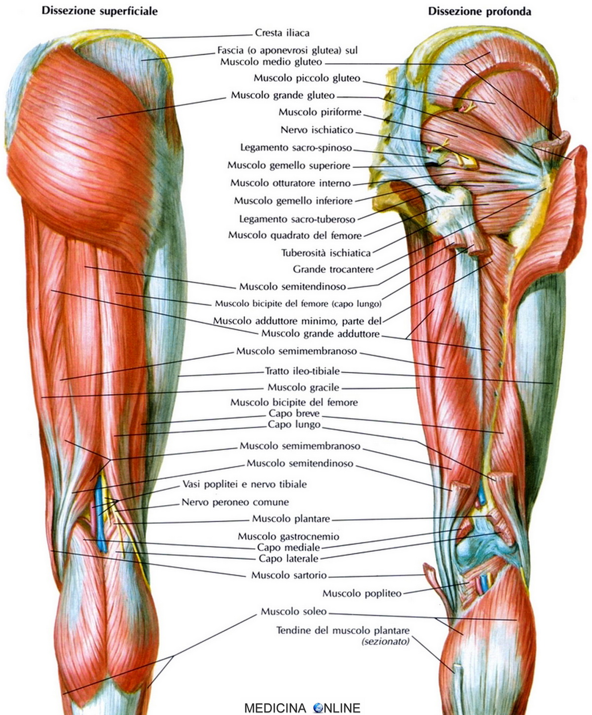 il pene è un muscolo o una cartilagine