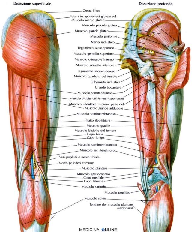 MEDICINA ONLINE MUSCOLI DI ANCA E COSCIA GAMBA VISTI POSTERIORMENTE GLUTEI tendine muscolo semitendinoso muscoli posteriori coscia muscolo bicipite femorale semimembranoso anatomia funzioni uso chirurgico