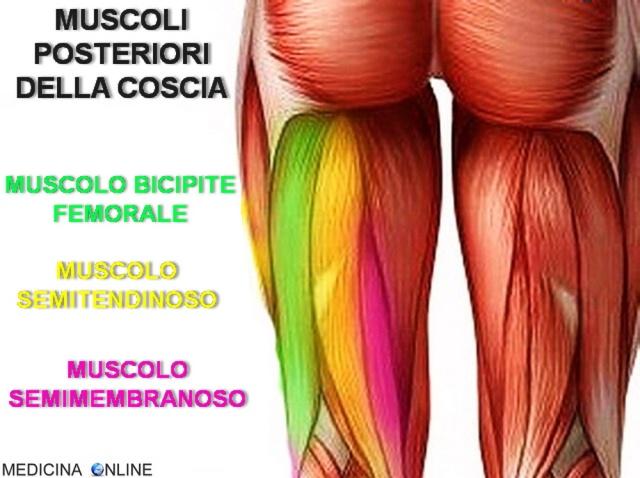 medicina online tendine muscolo semitendinoso muscoli posteriori coscia muscolo bicipite femorale semimembranoso anatomia funzioni uso chirurgico