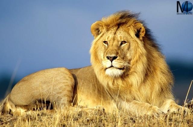 MEDICINA ONLINE DIFFERENZA LEONE TIGRE LION TIGER MANDIBOLA CARATTERISTICHE NASO DENTI ANIMALE DIVERSITA COCRODILE WALLPAPER COCCODRILLO DEL NILO SFONDO HD.jpg