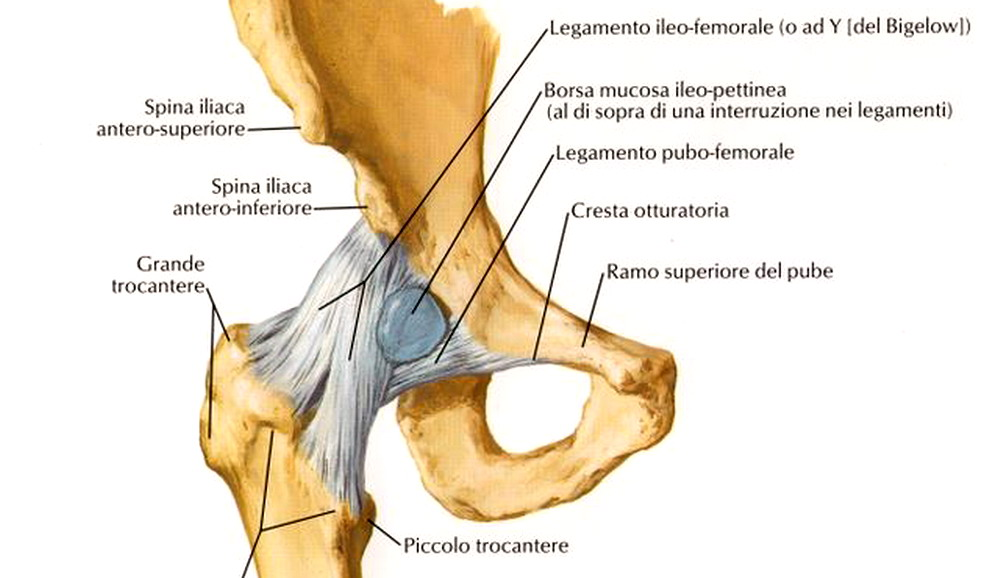 Articolazione dell\'anca (coxofemorale): anatomia e funzioni in ...