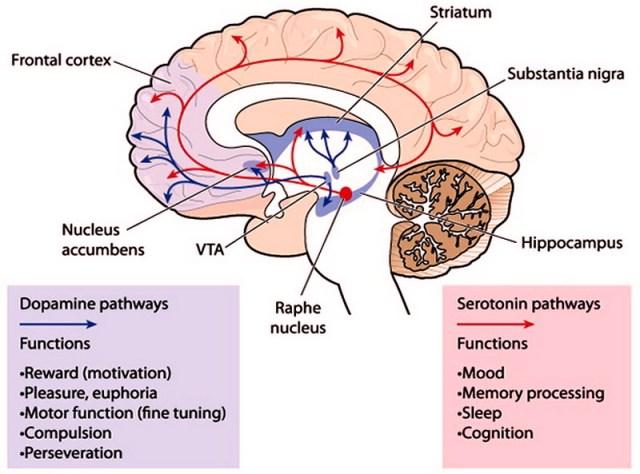 MEDICINA ONLINE DOPAMINA DOPAMMINA SEROTONINA NEUROTRASMETTITORI CERVELLO BIOCHIMICA NERVOSO