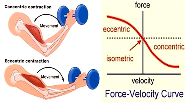 MEDICINA ONLINE PALESTRA DIFFERENZA CONCENTRAZIONE ECCENTRICA CONCENTRICA DIFFERENT ECCENTRIC CONTRACTION CONCENTRIC ESEMPI MUSCLE MUSCOLO.jpg