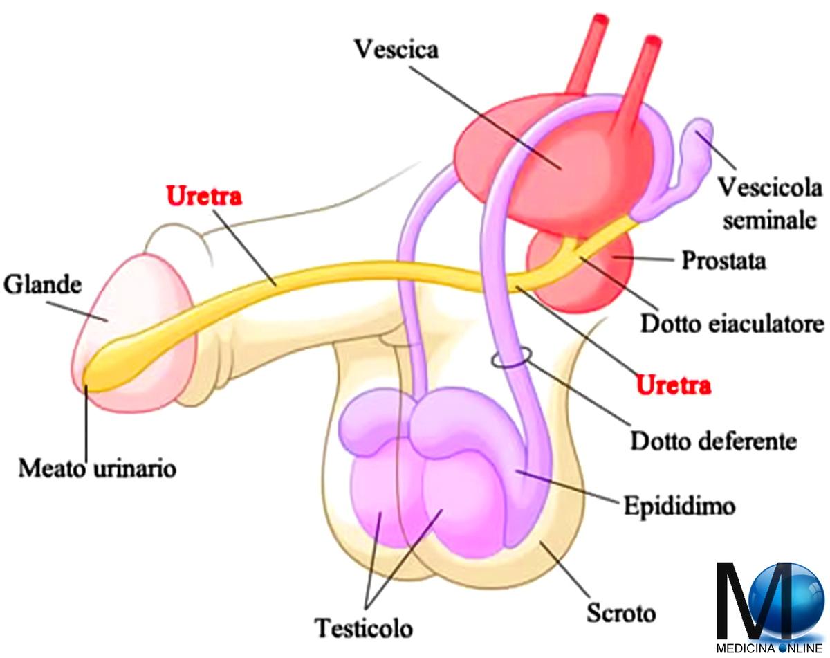 posizione prostatica maschile
