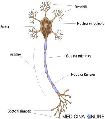 MEDICINA ONLINE CERVELLO INTELLIGENZA MEMORIA NEURONE SOMA DENDRITI ASSONE GUAINA MIELINA SINAPSI IMPULSO ELETTRICO ANATOMIA NODO RANVIER NUCLEO FISIOLOGIA
