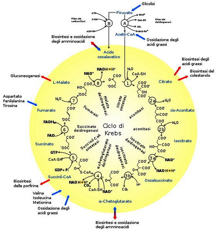 perché gli enzimi sono impotenti per le cellule