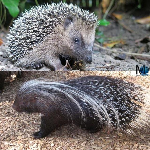 MEDICINA ONLINE DIFFERENZA RICCIO PORCOSPINO ANIMAL MANDIBOLA CARATTERISTICHE NASO DENTI ANIMALE DIVERSITA SFONDO HD.jpg