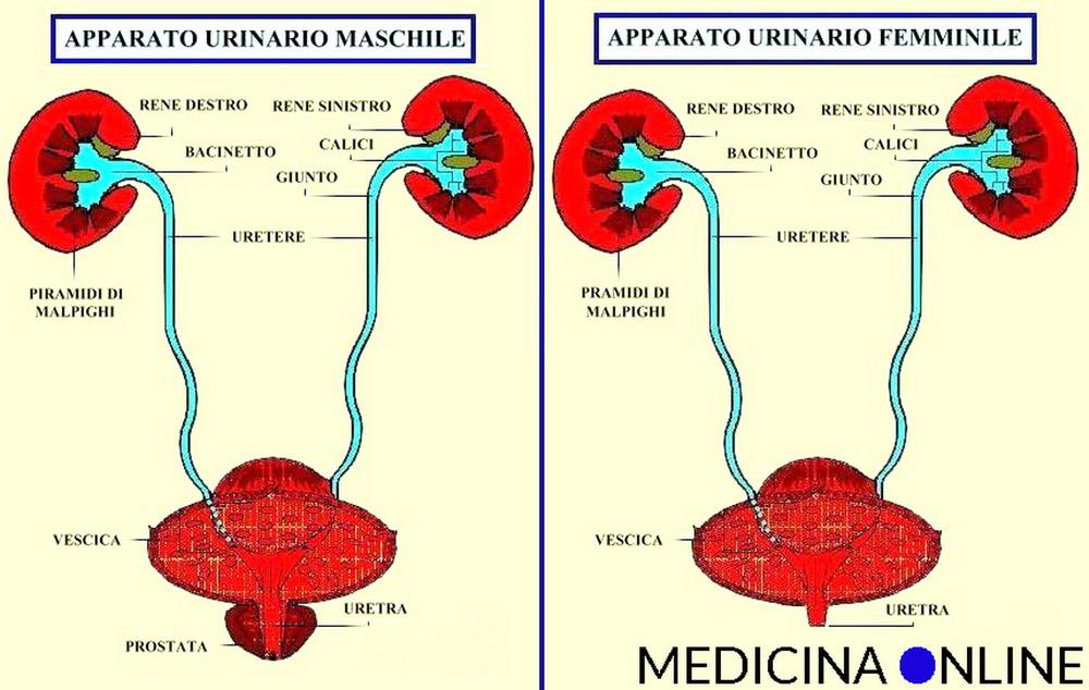 canale urinario e prostata
