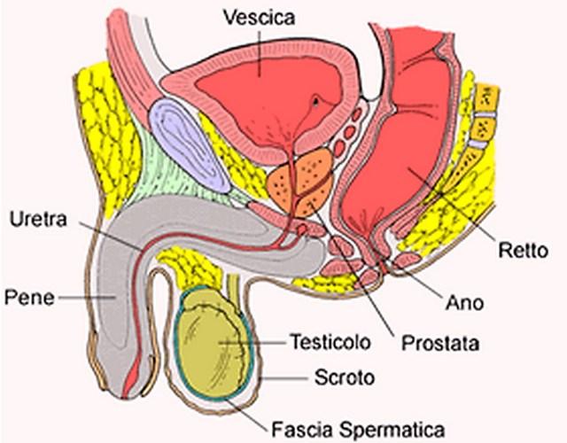 Prostata: anatomia, dimensioni, posizione e funzioni in sintesi ...