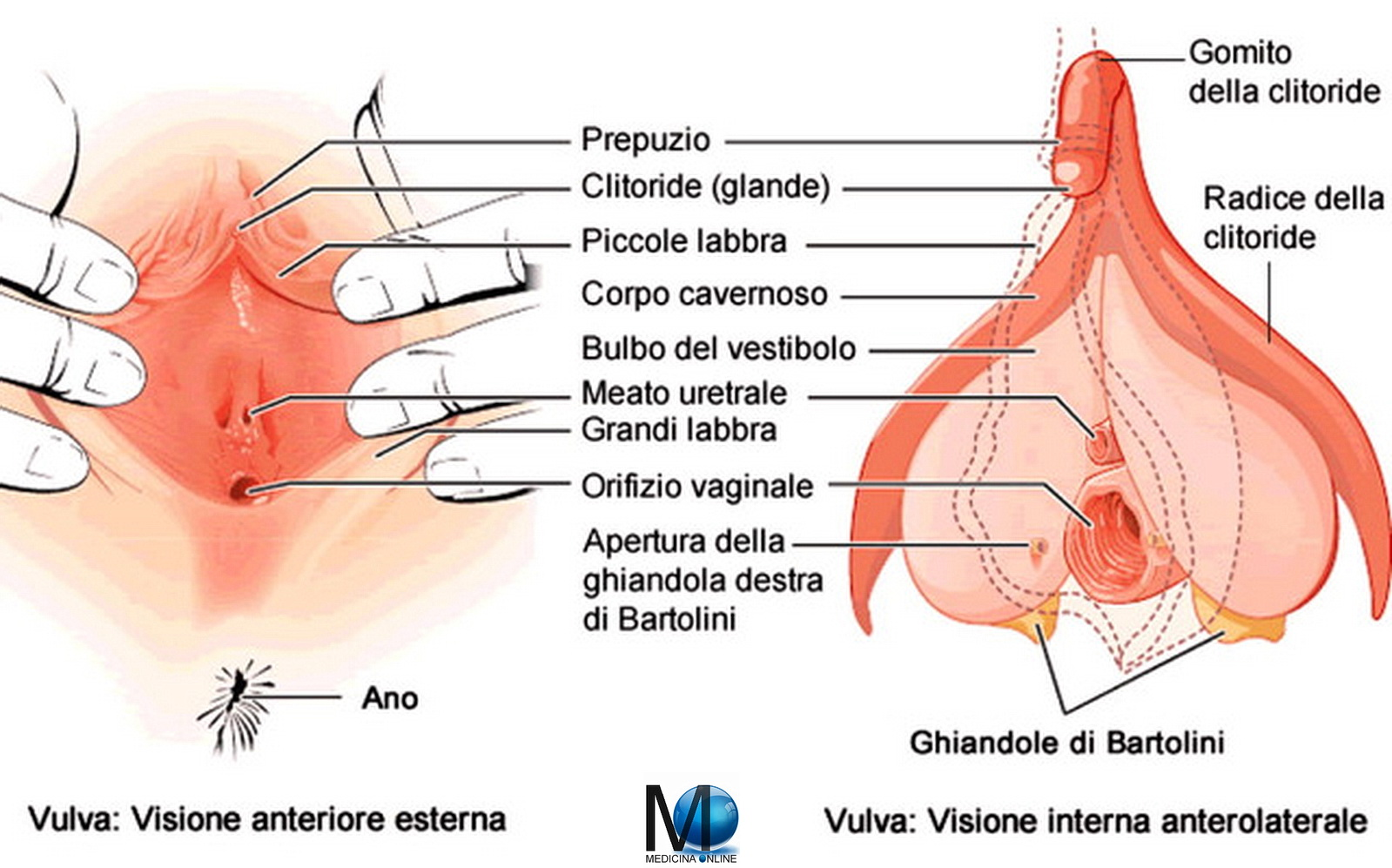 erezione riguardo un clitoride dal vivo en