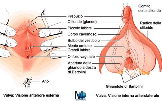 MEDICINA ONLINE EREZIONE CLITORIDE VULVA VAGINA SESSO DONNA LABBRA GRANDI PICCOLE CLITORYS 01.jpg