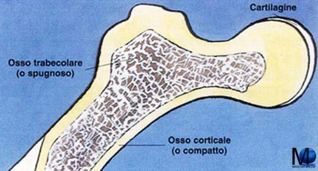 MEDICINA ONLINE OSSA OSSO PARI IMPARI SCHELETRO UOMO DIFFERENZE TESSUTO SPUGNOSO TRABECOLARE COMPATTO CORTICALE FIBROSO LAMELLARE CARTILAGINE OSSO SACRO COCCIGE CERVELLO SISTEMA NERVOSO CENTRALE PERIFERICO MIDOLLO OSSEO.jpg