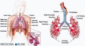 MEDICINA ONLINE POLMONI LUNGS APPARATO RESPIRATORIO SISTEMA DIFFERENZA TRACHEA VIE AEREE SUPERIORI INFERIORI TRACHEA BRONCHI BRONCHILI TERMINALI ALVEOLI POLMONARI RAMIFICAZIONI LOBI ANATOMIA FUNZIONI