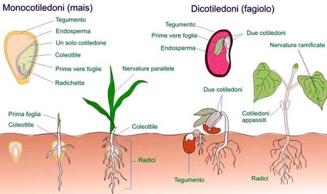 MEDICINA ONLINE DIFFERENZE monocotiledoni dicotiledoni.jpg