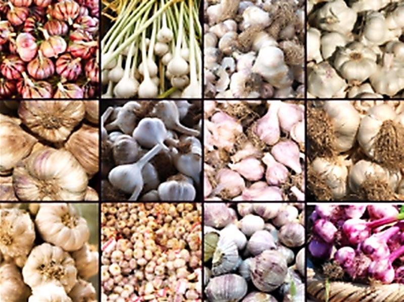tintura di aglio per lerezione