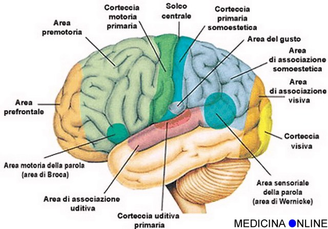 MEDICINA ONLINE CERVELLO CERVELLETTO SISTEMA NERVOSO LOBI LOBO FRONTALE TEMPORALE OCCIPITALE CORTECCIA BRAIN CEREBELLUS PICS PICTURE PHOTO WALLPAPER HI RESOLUTION HI RES NERVE