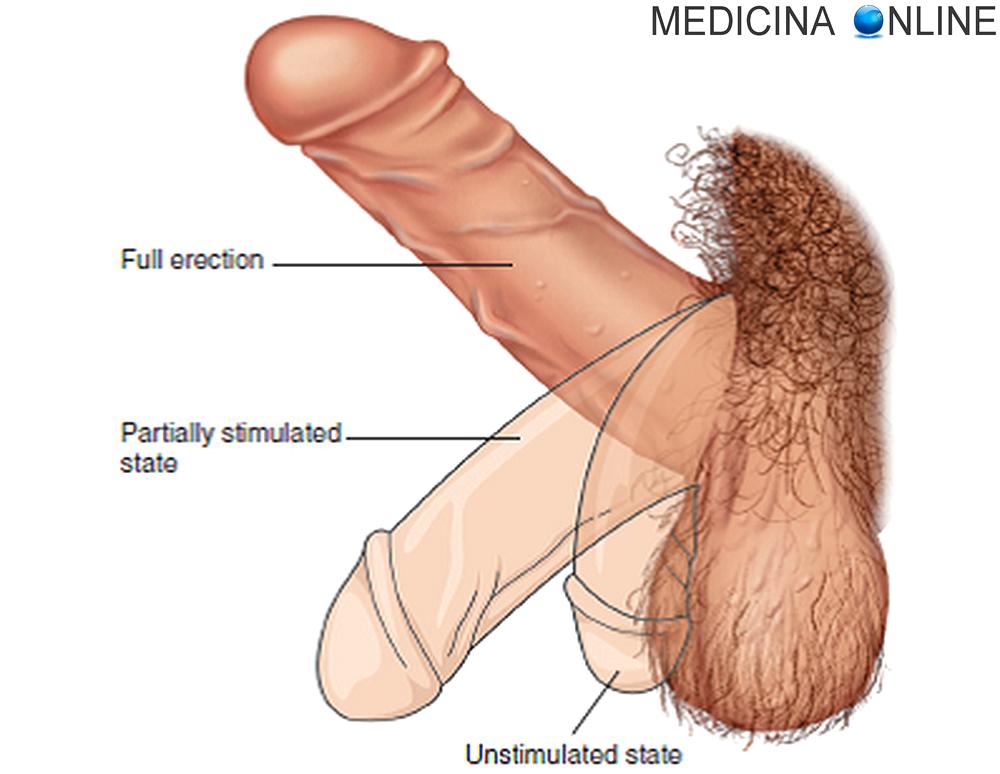 stimolazione erezione maschile rimedi naturalist