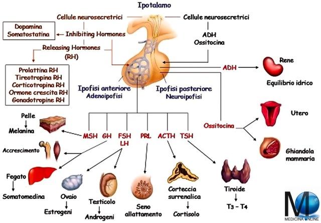 MEDICINA ONLINE IPOTALAMO IPOFISI ADENOIPOFISI NEUROIPOFISI ORMONI STIMOLANTE RH HORMONE ANATOMIA FUNZIONI FISIOLOGIA SCHEMI ASSE IPOTALAMO-IPOFISARIO CERVELLO ENDOCRINOLOGIA CERVELLO GHIANDOLE METABOLISMO TSH TRH TIROIDE