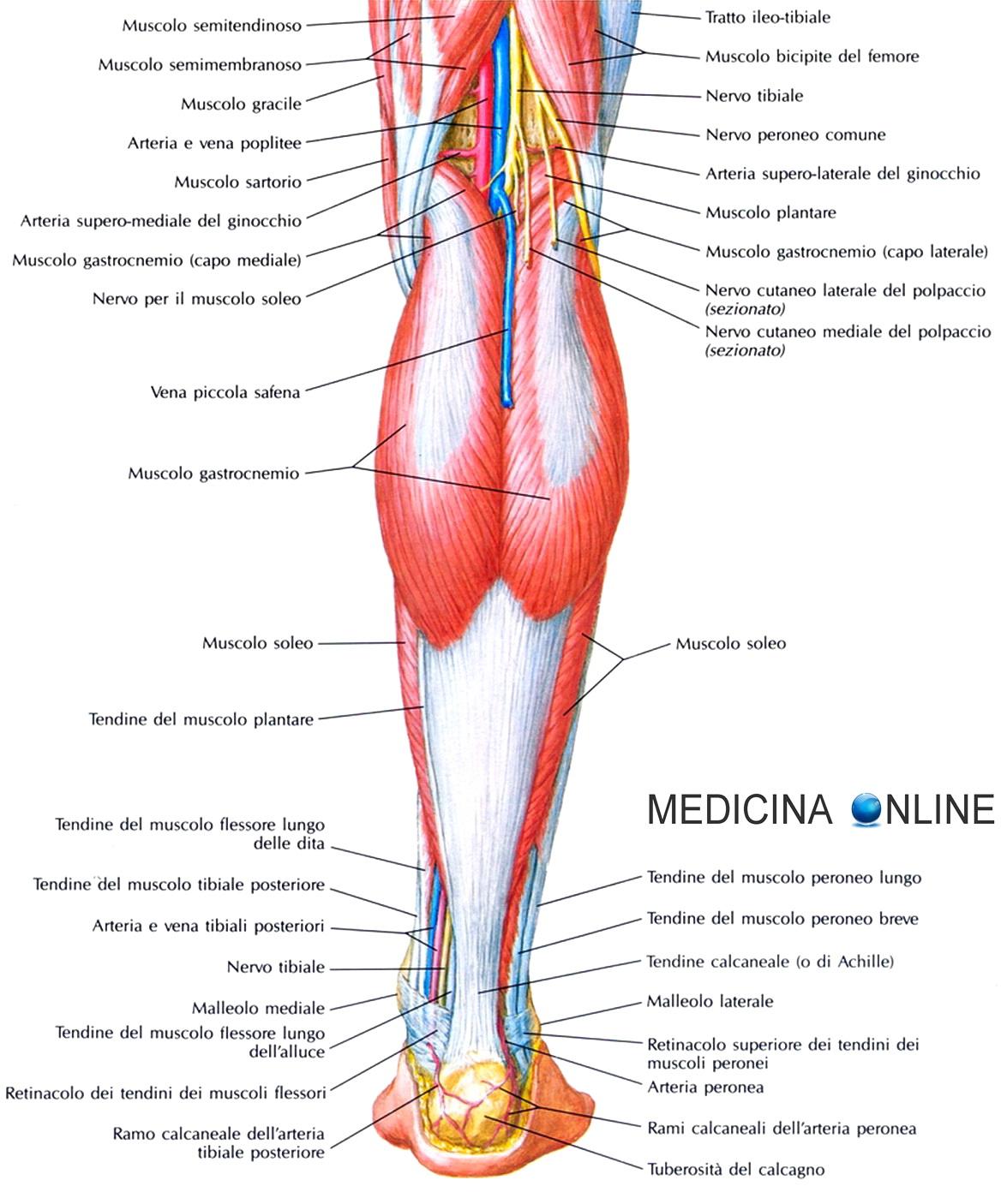 Favorito Muscolo soleo: anatomia, infiammazione, dolore, esercizi e  AY89