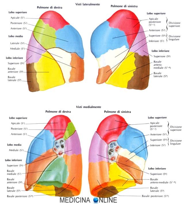 MEDICINA ONLINE POLMONI VIE AREE LOBI SEGMENTI CHIRURGIA LOBECTOMIA TUMORE CANCRO ASPORTAZIONE POLMONE LUNG CONSEGUENZE COMPLICANZE.jpg