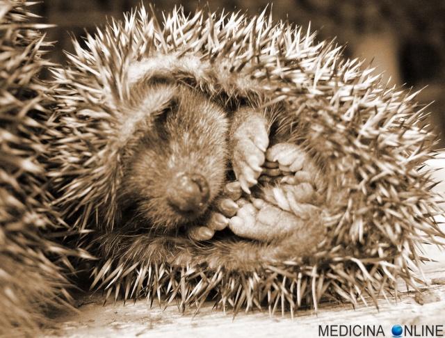 MEDICINA ONLINE PSICOLOGIA Arthur Schopenhauer Il dilemma del porcospino MENTE VICINANZA ANIMALI NATURA SONNO DORMIRE PET CUCCIOLO CUTE ANIMAL SLEEPING.jpg