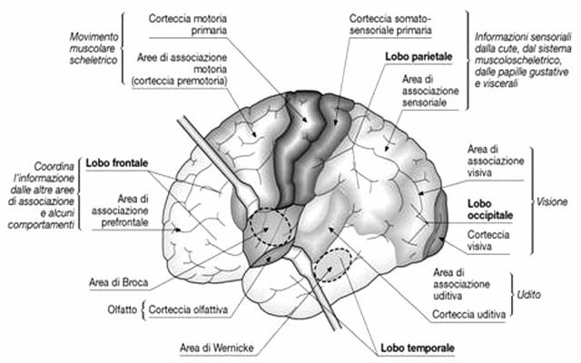 MEDICINA ONLINE CERVELLO CORTECCIA VISIVA UDITIVA LOBO LOBI FRONTALE PRO FRONTALE PARIETALE OCCIPITALE TEMPORALE ENCEFALO SISTEMA NERVOSO ANATOMIA PRIMARIA SECONDARIA