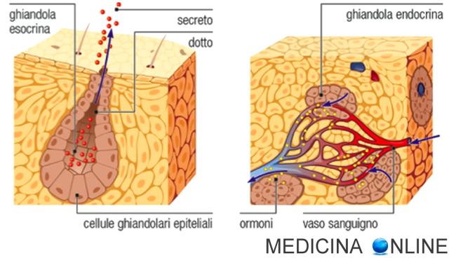 MEDICINA ONLINE CLASSIFICAZIONE GHIANDOLE ESOCRINE ENDOCRINE ANFICRINE ORMONI SECRETO SIEROSE MUCOSE MISTE MEROCRINE APOCRINE OLOCRINE ECCRINE PARIETALI TUBULARI GLOMERULARI SEMPLICI COMPOSTE ACINOSE ALVEOLARI
