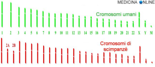 MEDICINA ONLINE DIFFERENZA GENETICA TRA UOMO E SCIMMIA SCIMPANZE DNA CROMOSOMI GENI GENOMA.png