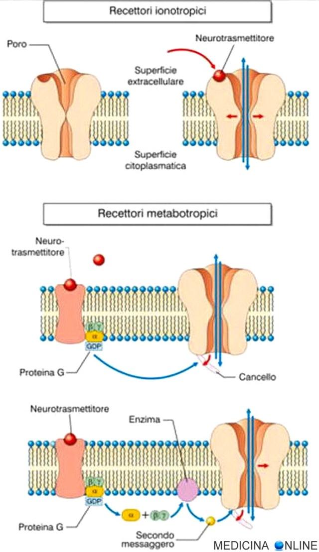MEDICINA ONLINE differenza recettori ionotropi e metabotropi BIOCHIMICA CELLULA INTRACELLULARE MEMBRANA.jpg