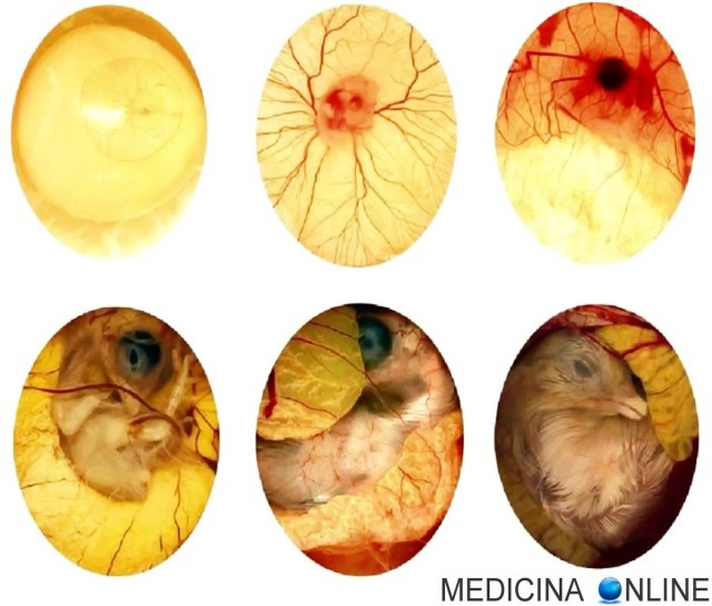Differenza Tra Uova E Uova Fecondate Da Pulcino Medicina Online