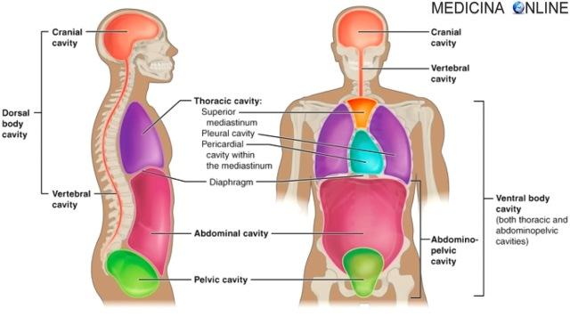 MEDICINA ONLINE CAVITA SUDDIVISIONE INFERIORE ANTERO SUPERIORE CORPO TORACE ADDOME MEDIASTINO PERICARDIO ANATOMIA LIMITI DORSAL VENTRAL CAVITIES MEDIASTINO AORTA RADIOGRAFIA