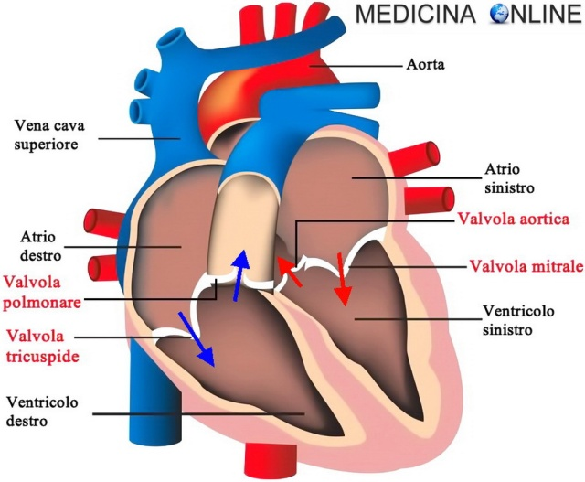 MEDICINA ONLINE CUORE HEART VALVOLE CARDIACHE INSUFFICIENZA STENOSI PROLASSO LEMBI AORTICA POLMONARE MITRALICA TRICUSPIDE PAPILLARI SANGUE CIRCOLAZIONE SISTEMICA AORTA ARTERIA VENA SISTO