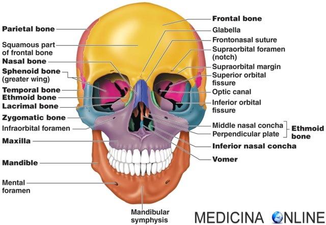 MEDICINA ONLINE ETMOIDE 3D ROTAZIONE ANIMATA Rotation ethmoid bone CRANIO OSSO OSSA TESTA ANATOMIA UMANA POSIZIONE RAPPORTI VICINO DOVE SI TROVA NASO SCHELETRO ASSILE MANDIBOLA MASCELLA skull.jpg