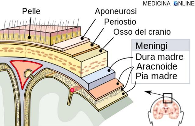 MEDICINA ONLINE MENINGI MENINGITE CERVELLO SISTEMA NERVOSO CRANIO MIDOLLO SPINALE VIRALE BATTERICA INFEZIONE MENINGISMO IRRITAZIONE INFIAMMAZIONE NERVO ENCEFALO CERVELLO Meninges