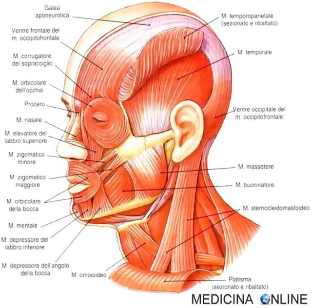 Anatomy Neck Muscles Muscle Anatomy Head And Neck Anatomy Human